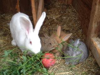 Naissance de lapins!