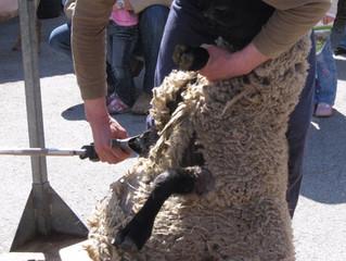 6 avril à 11h - Tonte des moutons
