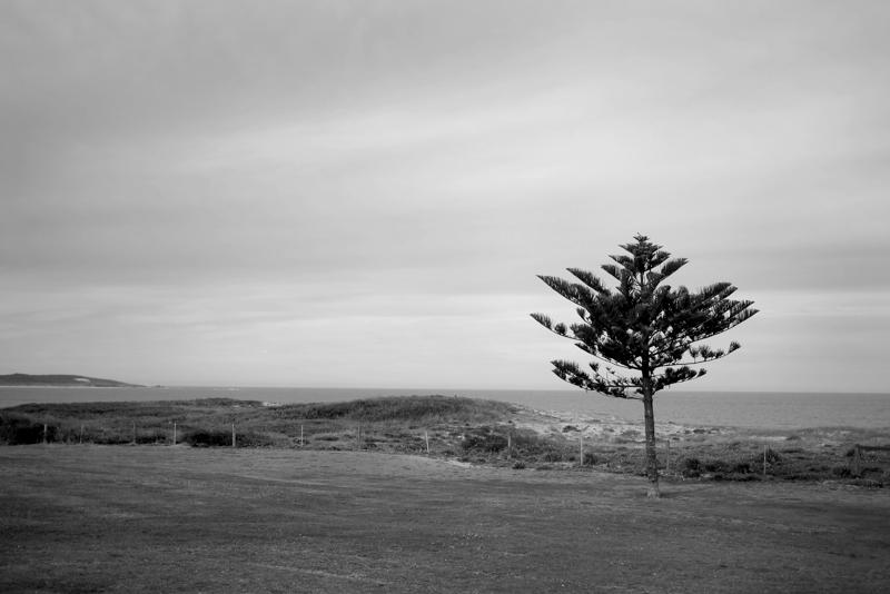 Lone Tree at Cronulla