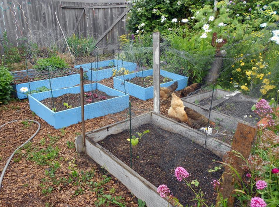 Garden and Chickens
