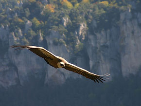 maison vautours, gorge du tarn