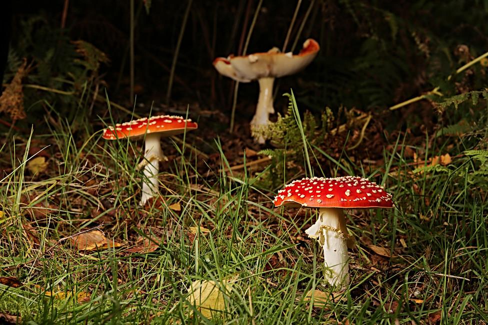 Family Fungi