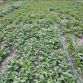 紅藜麥收割完後種植的農業作物