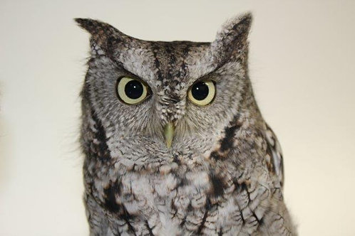 Adopt Luna (Screech Owl)