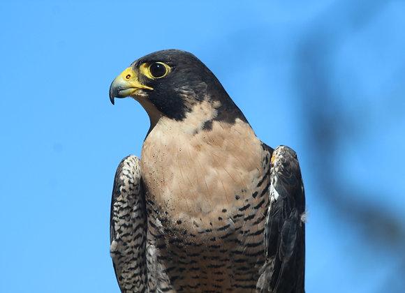 "Falcon ""Adoptions"""