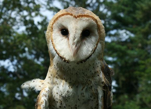 "Owl ""Adoptions"""