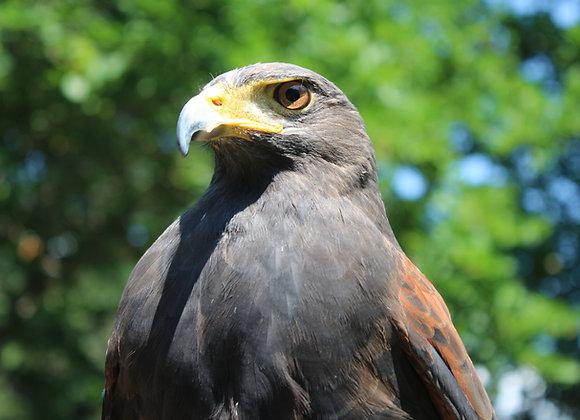 "Hawk ""Adoptions"""