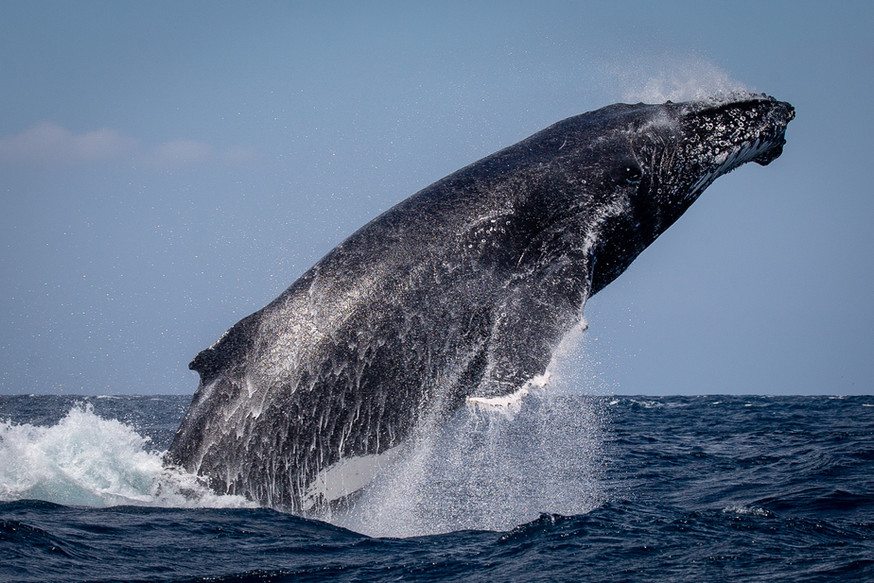 Whale launch!