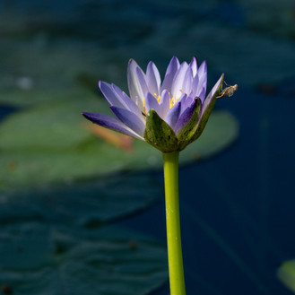 Waterlily in Lake Kununurra