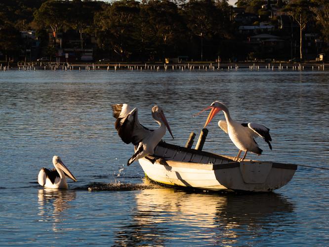 Rabbles of Pelicans