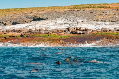 Montague Island Seals Colony