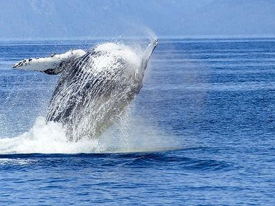 humpback-whale-431907_1920.jpg
