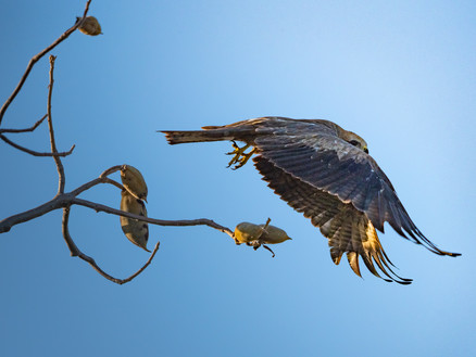 Kite in flight, Kununurra