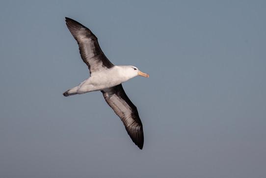 Albatross soaring