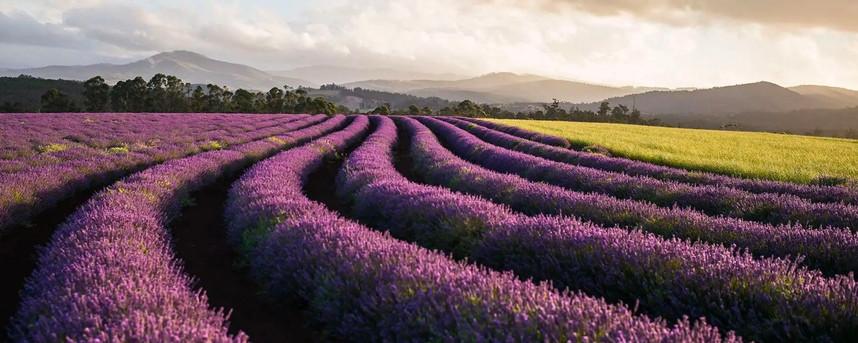 Bridgestowe Lavender