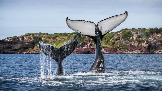 Sapphire Coast Whale Watching