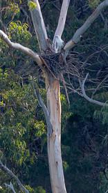 Spot a Sea Eagle Nest