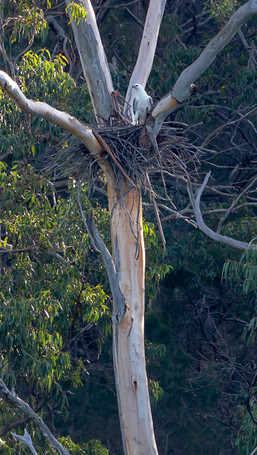 Spot a Sea Eagle Nest