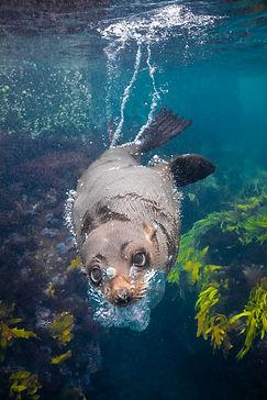 montague-island-seal-swimming.jpg