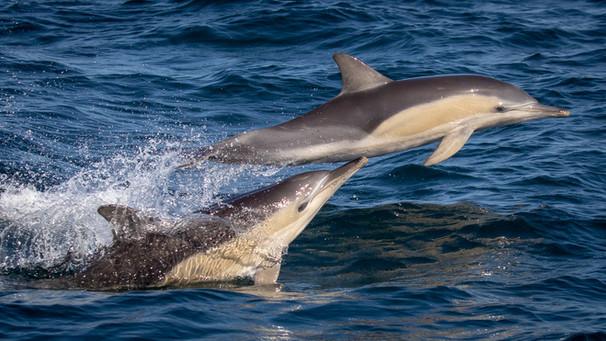Dolphin cruising