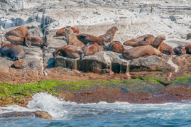Montague Island Seal Colony