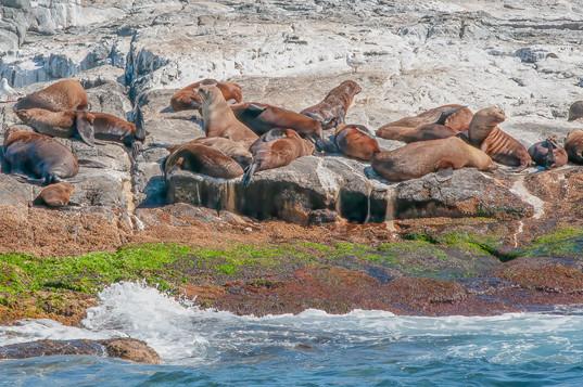 Montague Island Seal Colony