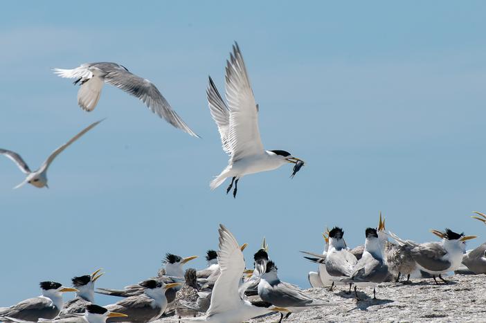Seabird squabble
