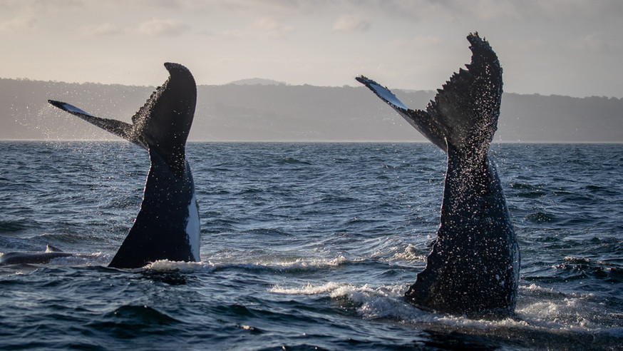 Double Whale action