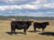Bega Valley Angus Breeders