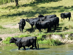 Brown Mountain Angus Cattle Breeders