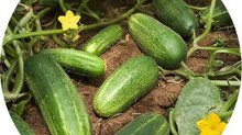 Cucumbers - July 2017 Plant of the Month