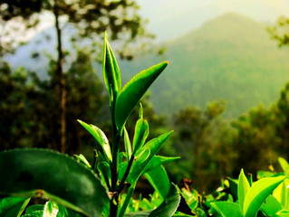 Sri LankanTea Trails