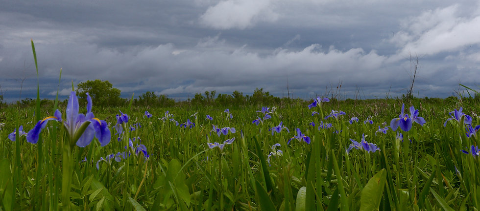 Iris, far as the eye can see.jpg