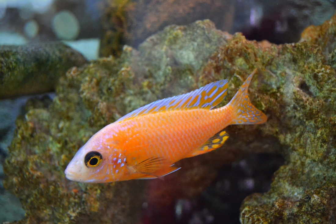 Peces ciclidos caracas tmr venezuela for Cria de peces ornamentales