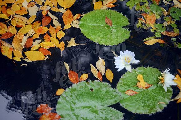 """Lotus in Central Park"""
