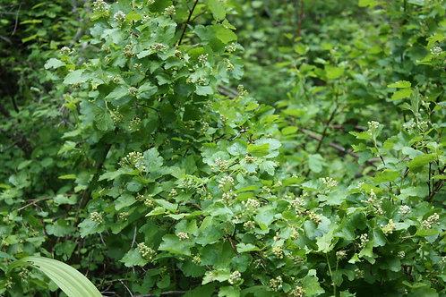 Mallow ninebark foliage