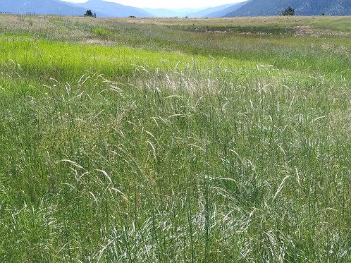 green needle grass