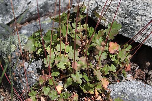 gooseberry-leaf alumroot