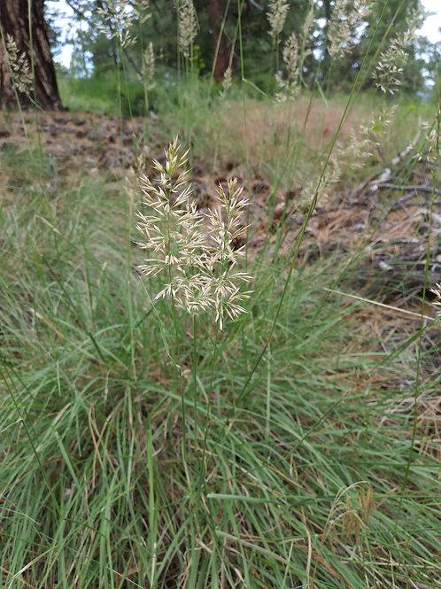 Pinegrass seed head
