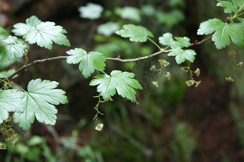 prickly currant