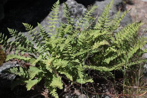 western cliff fern