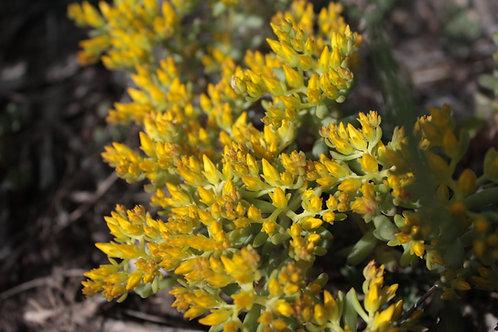 lance-leaf stonecrop