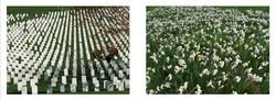 Arlington Cemetery/ Field of Flowers