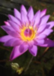 waterlily-2020-01-15-23-37-11_edited.jpg