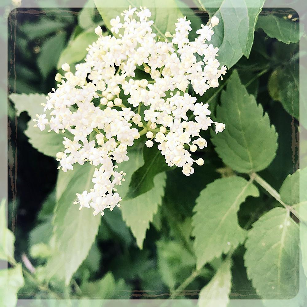 Fleur de sureau ©Clémentine Chauveau