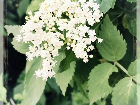 Recette de saison: sirop de fleurs de sureau