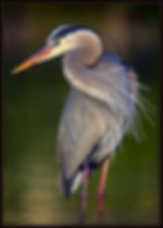 Blue Heron compressed.jpg