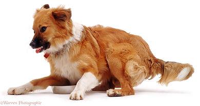 Évaluation de chien dangereux Laurentides