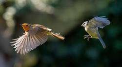 Ray Waters - Blue Tit harassing a Robin