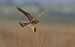 Ray Waters - Kestrel with a Mole for dinner
